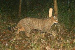 Chats sauvages repérés dans la Grande Cariçaie