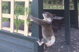Pétition pour introduire le koala en Nouvelle-Zélande