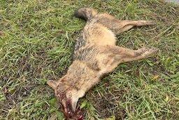 Un chacal doré mort sur la route