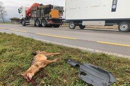 Un chacal doré tué sur une route fribourgeoise