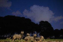 A Tel-Aviv, les chacals investissent un parc déserté