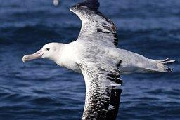 Les albatros, zélés policiers des mers