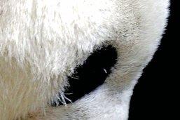 Les bébés pandas au bout du tunnel