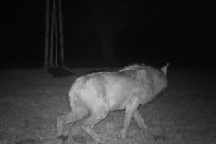 """Loup malade abattu en Thurgovie: il """"squattait"""" dans la région"""