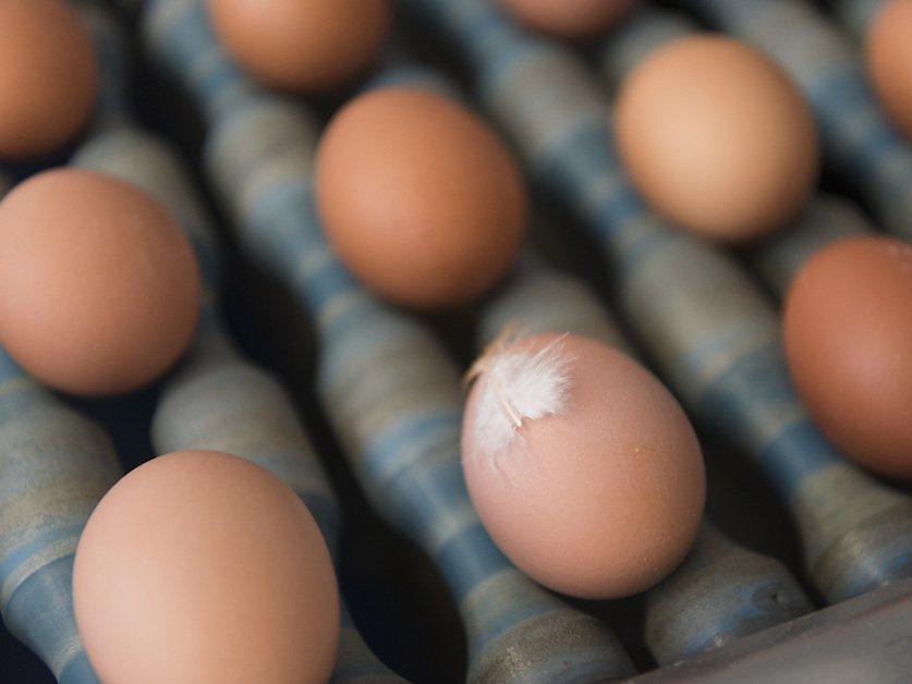 Les poules suisses ont pondu un milliard d'oeufs en 2019