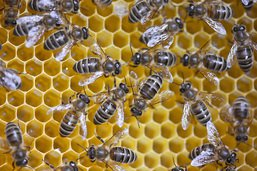 Le confinement a été bénéfique pour les abeilles de Rome