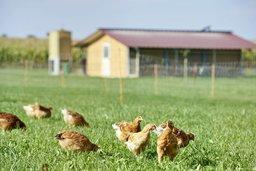 Fribourg, champion suisse du poulet