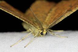La nuit, les papillons sont parfois gris