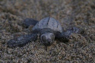 Bangladesh: des tortues prises dans une marée géante de plastiques