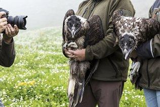 Naissance d'un gypaète barbu dans les Alpes bernoises