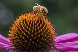 Le déclin des abeilles sauvages est une menace pour les cultures