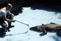 Belgrade marque les 83 années du plus vieil alligator en captivité