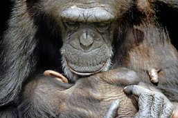 Malin qui comme un singe, s'adapte