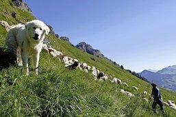 Les moutons face au loup