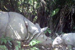 Deux bébés rhinocéros de Java, espèce en voie d'extinction, repérés dans un parc