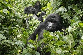 Naissance de deux gorilles au parc des Virunga