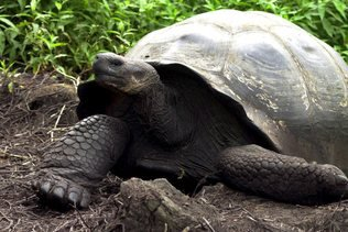 36 tortues des Galapagos réintroduites dans leur milieu naturel