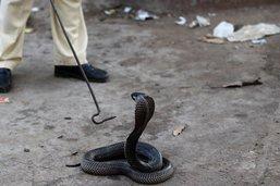 Après la dengue, le paludisme et le Covid-19, il survit à un cobra