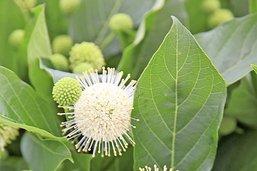Cet arbuste offre plus qu'un Coronaficus