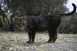 Covid-19: un premier chat infecté, sans risque ou presque