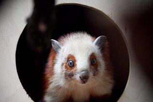 Floride: un trafic illégal d'écureuils volants démantelé
