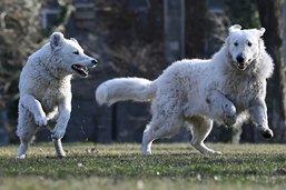 Les chiens jouent pour faire plaisir aussi à leur maître (étude)