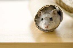 La dernière promenade du hamster