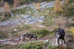 Le loup à nouveau visé