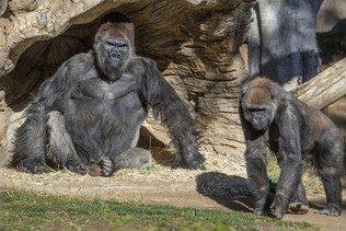 Un gorille traité aux anticorps a guéri du Covid-19 dans un zoo