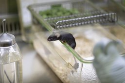 L'expérimentation animale «nécessaire au vaccin anti-Covid»
