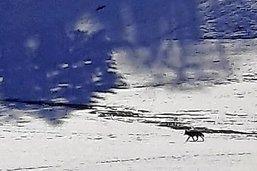 Un loup aperçu à Vaulruz