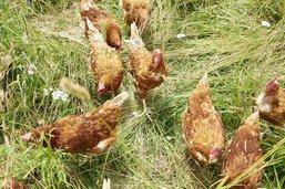 Incertitudes pour l'abattoir à poules
