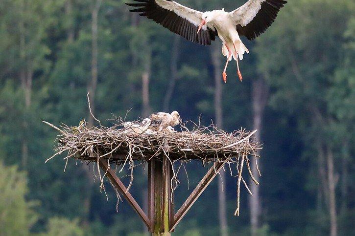 Des bébés cigognes au lac de Seedorf