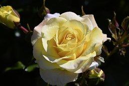 Des roses qui n'ont peur de rien