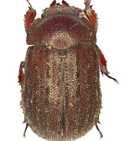 Un coléoptère rare découvert