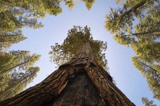 Séquoias emballés dans de l'alu pour les protéger des incendies