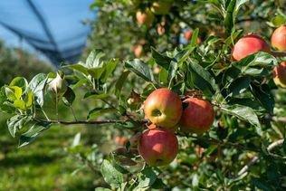 Tournée de pommes gratuites pour les étudiants