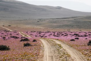 """Le spectacle irrégulier du """"désert fleuri"""" de retour dans l'Atacama"""