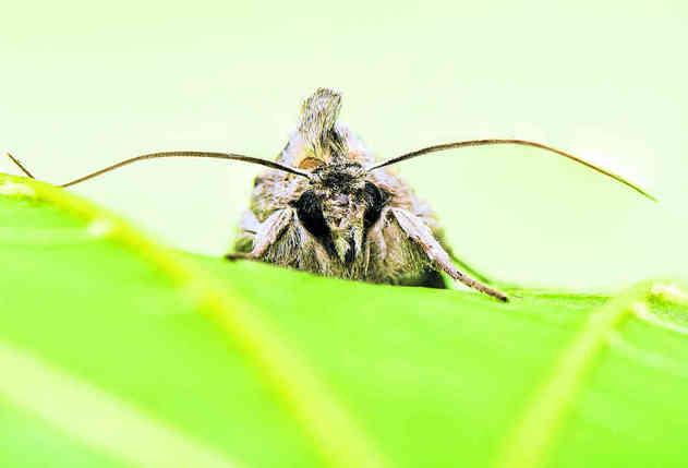 Les yeux de certains lépidoptères comme la mite – ou ici une ombrageuse, variété de papillon de nuit – captent particulièrement bien la lumière et en réfléchissent très peu, ce qui leur permet de ne pas être repérés trop facilement par les prédateurs. © Gucio_55