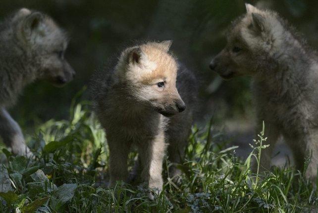 Jeunes loups dans le viseur
